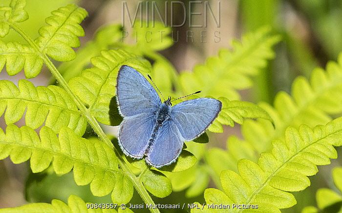 Holly blue (Celastrina argiolus) butterfly, male on Fern. Jyvaskyla, Central Finland. May.