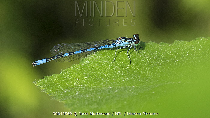 Northern damselfly (Coenagrion hastulatum) male on leaf. Leivonmaki, Joutsa, Central Finland. June.