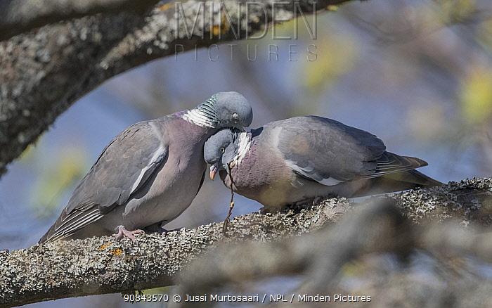 Wood pigeon (Columba palumbus) pair in courtship. Aland Islands, Finland. April.