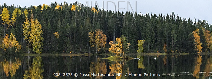 Whooper swan (Cygnus cygnus), two on lake, coniferous forest on shore. Heinola, Paijat-Hame, Finland. October.