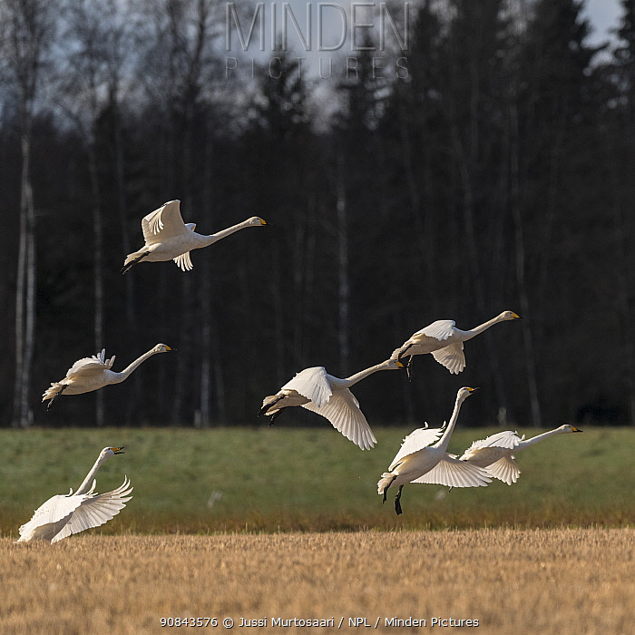 Whooper swan (Cygnus cygnus) flock taking off over arable field after feeding on Maize. Hartola, Paijat-Hame, Finland. October.