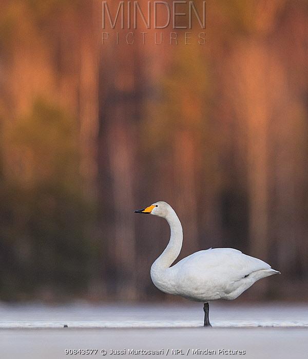 Whooper swan (Cygnus cygnus) in snow. Jyvaskyla, Central Finland. March.