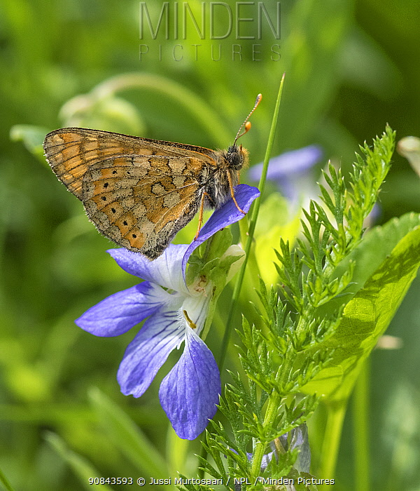 Marsh fritillary (Euphydryas aurinia) butterfly, male on flower. Lappeenranta, South Karelia, Finland. June.