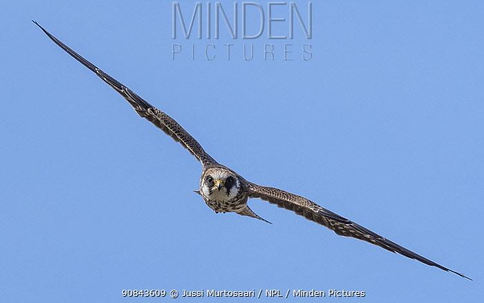 Red-footed falcon (Falco vespertinus) juvenile in flight. Jamsa, Central Finland. August.