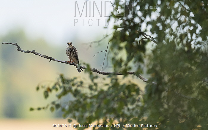 Red-footed falcon (Falco vespertinus) juvenile perched in tree. Jamsa, Central Finland. August.