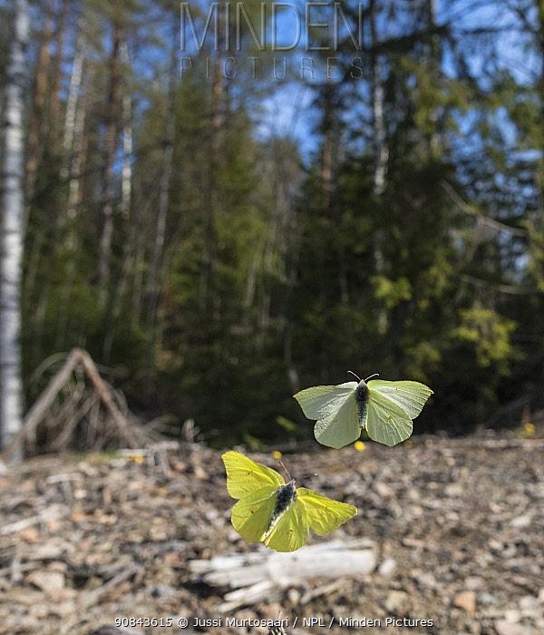 Brimstone (Gonepteryx rhamni) butterfly pair flying at woodland edge. Jyvaskyla, Central Finland. April.