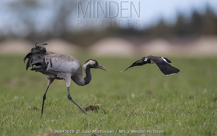 Common crane (Grus grus) fighting with Lapwing (Vanellus vanellus). Petajavesi, Western Finland. May.