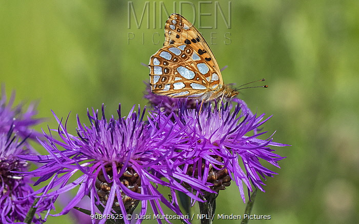 Queen of Spain fritillary (Issoria lathonia) butterfly nectaring on Knapweed. Pargas, Aboland, Finland. July.