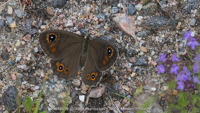 Large wall brown (Lasiommata maera) butterfly, female resting on ground. Taipalsaari, South Karelia, Finland.