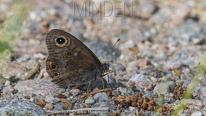 Northern wall brown (Lasiommata petropolitana) butterfly, male resting on ground. Jyvaskyla, Central Finland. June.