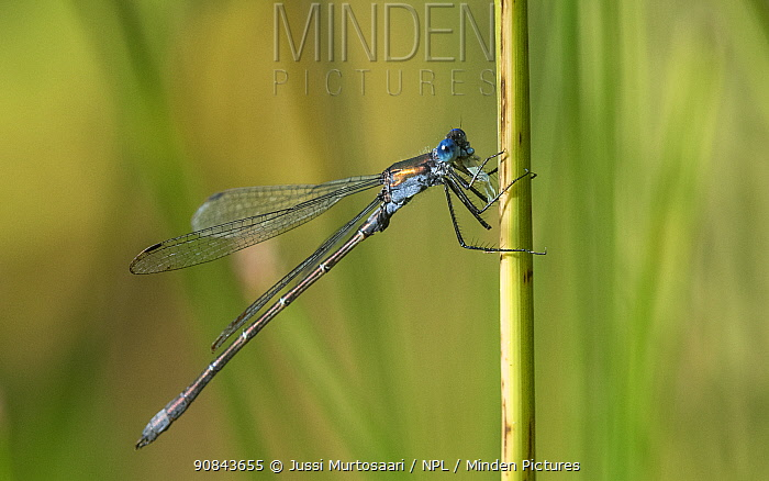 Emerald spreadwing damselfly (Lestes dryas) male resting on stem. Jamsa, Central Finland. September.