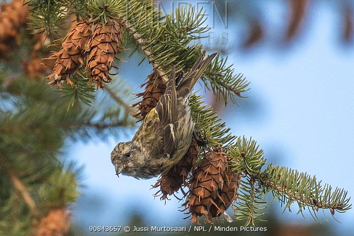 Two-barred crossbill (Loxia leucoptera) female feeding on Douglas fir cones. Jyvaskyla, Central Finland. December.