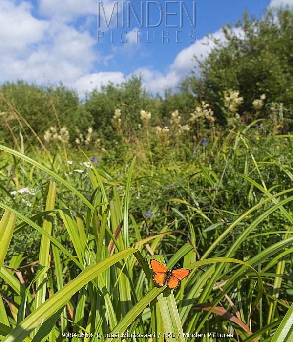 Large copper (Lycaena dispar) butterfly male in wetland. Ruokolahti, South Karelia, Finland. July.