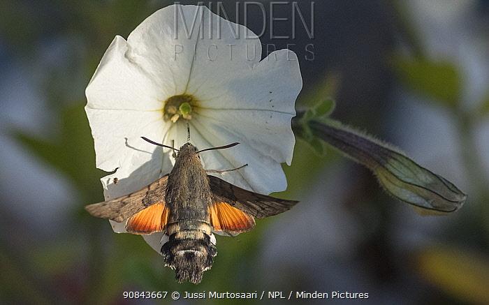 Hummingbird hawk-moth (Macroglossum stellatarum) nectaring on Bindweed. Pargas, Aboland, Finland. September.