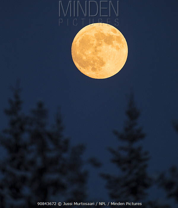 Full moon above coniferous trees. Laukaa, Central Finland.