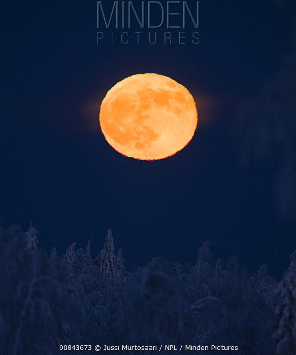 Full moon over snow covered coniferous forest. Petajavesi, Western Finland. January.