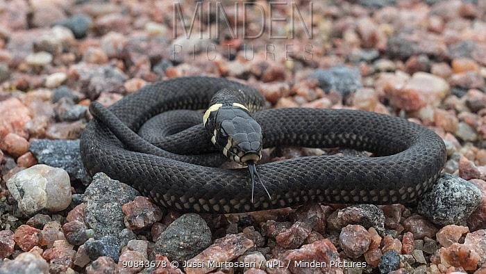 Grass snake (Natrix natrix), young snake flicking tongue. Korpo, Aboland, Finland. September.