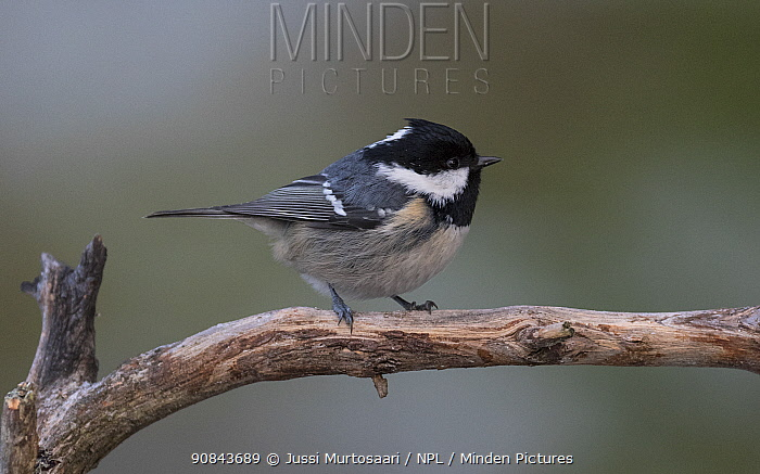 Coal tit (Periparus ater) perched on branch. Jamsa, Central Finland. December.