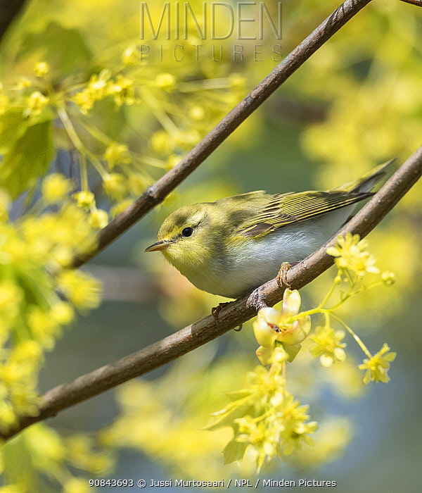 Wood warbler (Phylloscopus sibilatrix) perched on branch amongst blossom. Pargas, Aboland, Finland. May.