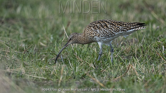 Curlew (Numenius arquata) feeding in grassland. Petajavesi, Central Finland. May.