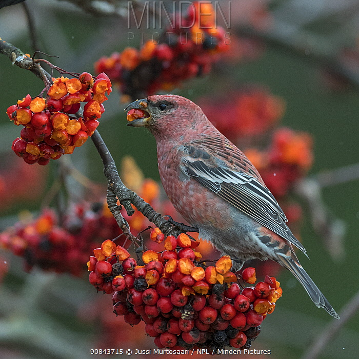 Pine grosbeak (Pinicola enucleator) male feeding on Rowan (Sorbus sp) berries. Muurame, Central Finland. November.