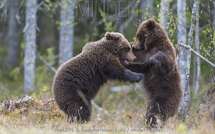 Brown bear (Ursus arctos), two cubs play fighting, standing on hind legs. Martinselkonen, Kainuu, Finland. June.
