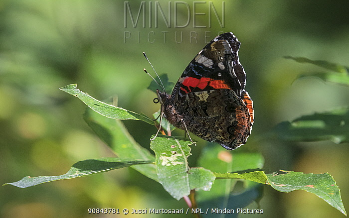 Red admiral (Vanessa atalanta) butterfly resting on leaf. Jyvaskyla, Central Finland. August.