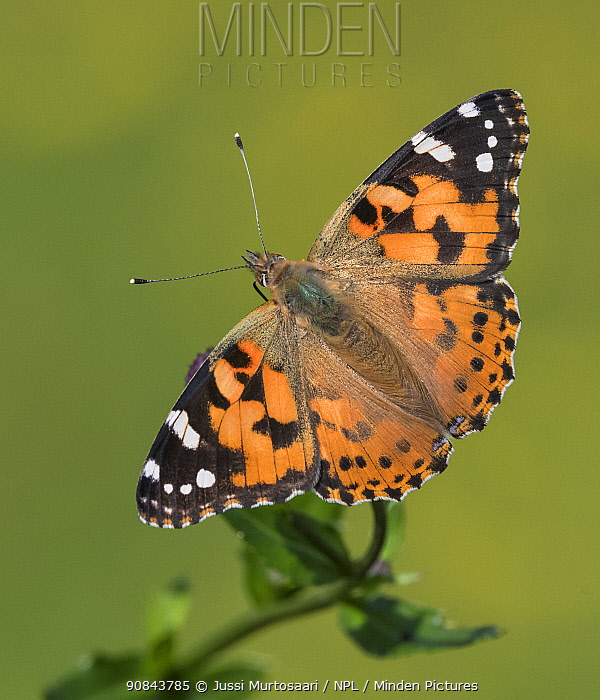 Painted lady (Vanessa cardui) butterfly. Finland. August.