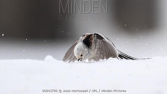 Long-tailed tit (Aegithalos caudatus caudatus) feeding on seeds in snow. Laukaa, Central Finland. August.