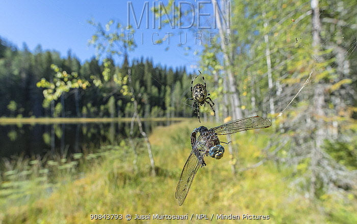 Common hawker dragonfly (Aeshna juncea) caught in Spider web. Lake and forest in background. Isojarvi National Park, Central Finland. August 2019.