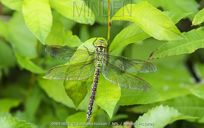 Green hawker dragonfly (Aeshna viridis) female. Li, Northern Ostrobothnia, Finland. August.