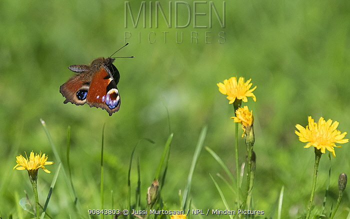 Peacock butterfly (Aglais io) flying over flowers. Finland. August.