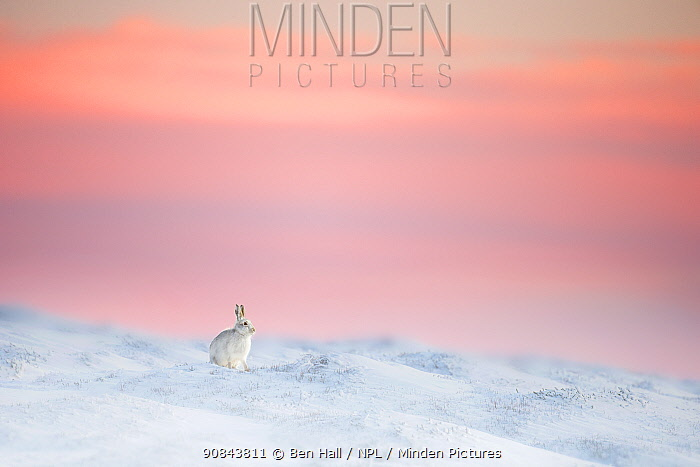 Mountain hare (Lepus timidus) on snow covered moorland at last light, Derbyshire, UK.