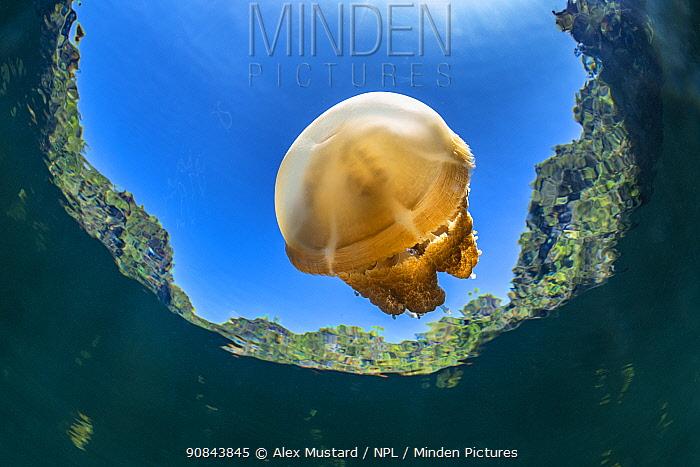 Stingless golden jellyfish (Mastigias sp.) in a landlocked marine lake in the middle of an island. Farondi Islands, Misool, Raja Ampat, West Papua, Indonesia. Tropical West Pacific Ocean.
