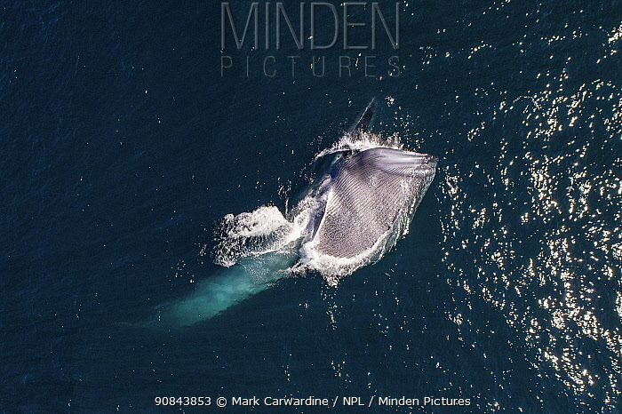 Blue whale (Balaenoptera musculus) feeding, mouth open aerial view. Baja California, Mexico. March.