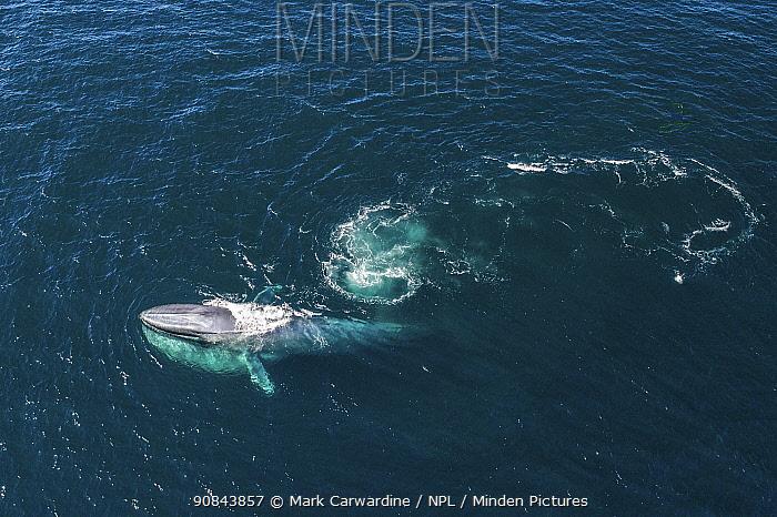 Blue whale (Balaenoptera musculus) feeding, aerial view. Baja California, Mexico. March.