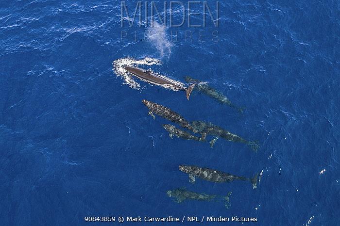 False killer whale (Pseudorca crassidens) pod with drift of spray from blow, aerial shot. Baja California, Mexico. February.