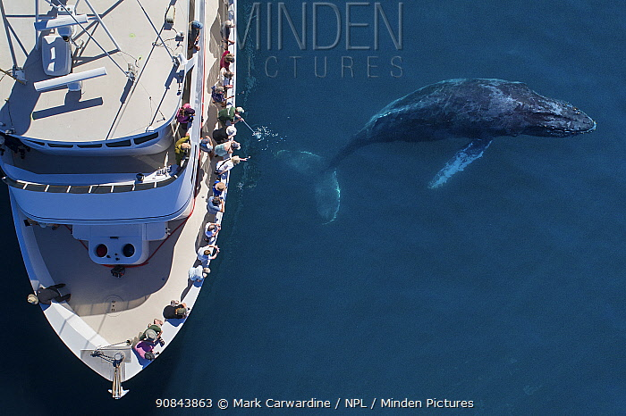 Humpback whale (Megaptera novaeangliae) surfacing beside tourists observing from whale watching boat, aerial view. Baja California, Mexico. February 2020.