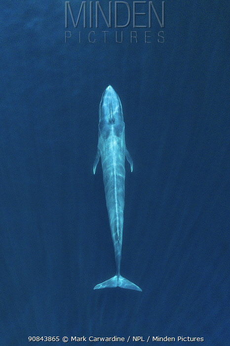 Blue whale (Balaenoptera musculus), aerial view. Baja California, Mexico. February.