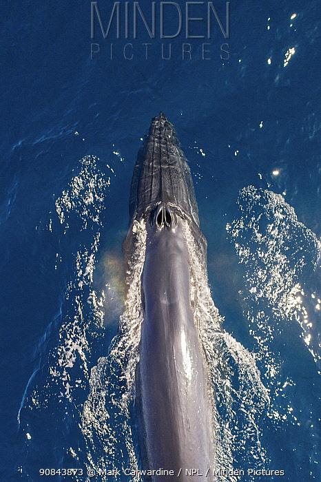 Bryde's whale (Balaenoptera edeni), aerial view. Baja California, Mexico. April.