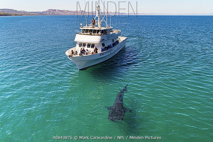 Whale shark (Rhincodon typus) with tourists observing from whale watching boat, in coastal waters. Sea of Cortez, Baja California, Mexico. February 2020.