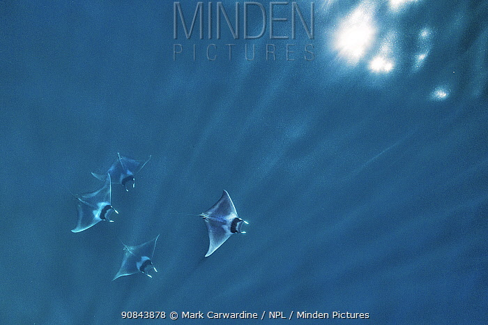 Spinetail devil ray (Mobula mobular), four with rays of light and sparkle of sun on water, aerial view. Sea of Cortez, Baja California, Mexico. March.