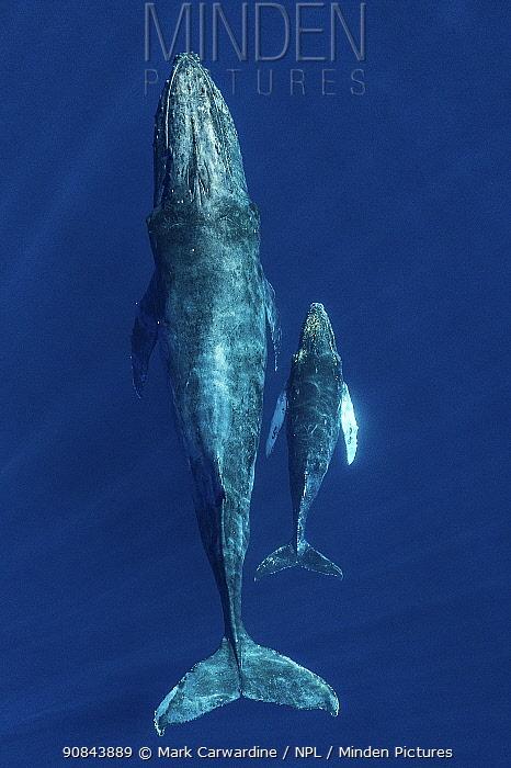 Humpback whale (Megaptera novaeangliae) female and calf, aerial view. Baja California, Mexico. March.