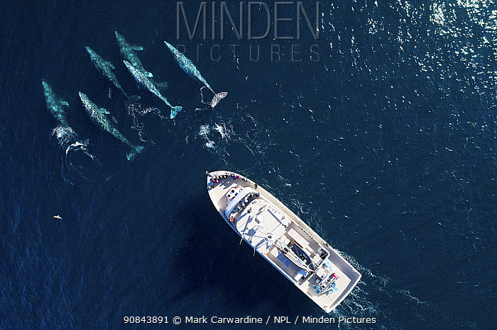Grey whale (Eschrichtius robustus) pod followed by whale watching boat, aerial view. Baja California, Mexico. February 2019.