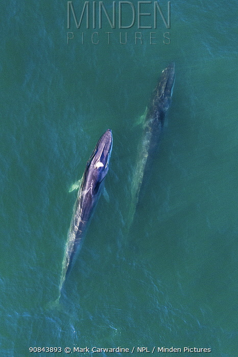 Fin whale (Balaenoptera physalus), two at surface, aerial view. Baja California, Mexico. March.