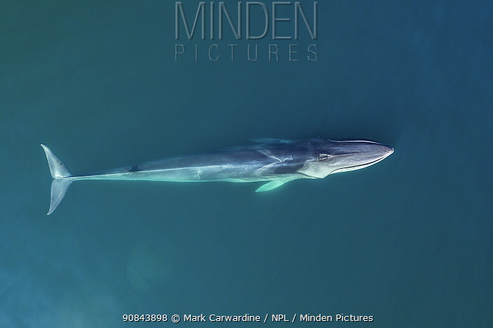 Fin whale (Balaenoptera physalus), aerial view. Baja California, Mexico. March.