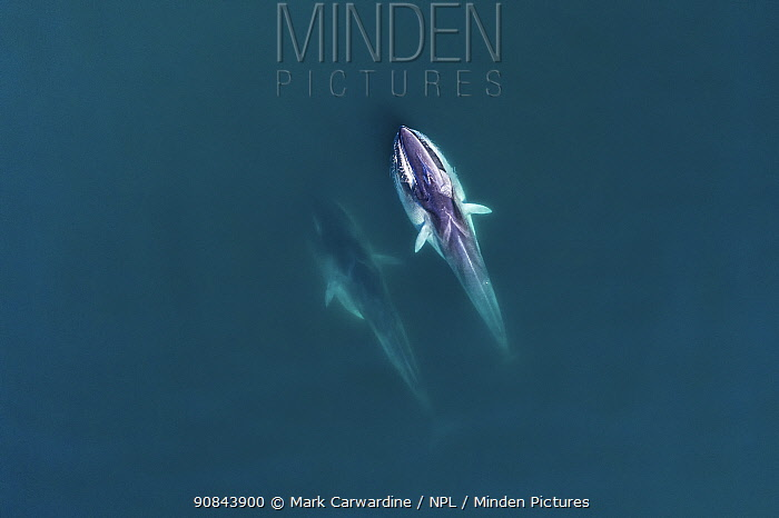 Fin whale (Balaenoptera physalus), two feeding, aerial view. Baja California, Mexico. March.