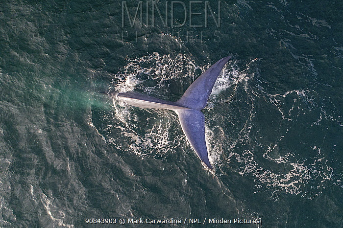 Blue whale (Balaenoptera musculus) fluking whilst diving, aerial view. Baja California, Mexico. April.