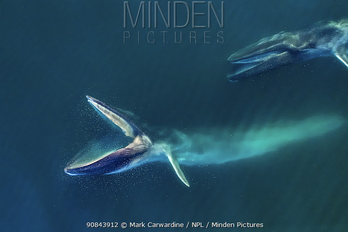 Fin whale (Balaenoptera physalus), two feeding, mouths open, aerial view. Baja California, Mexico. March.