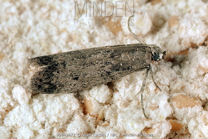 European flour moth (Ephestia kuehniella), pest of stored grain, in flour debris in storage.